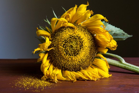 Sunflower Still Life | Erica Robbin