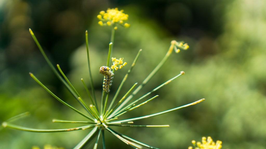 Garden Caterpillar on Dill Flower | Erica Robbin