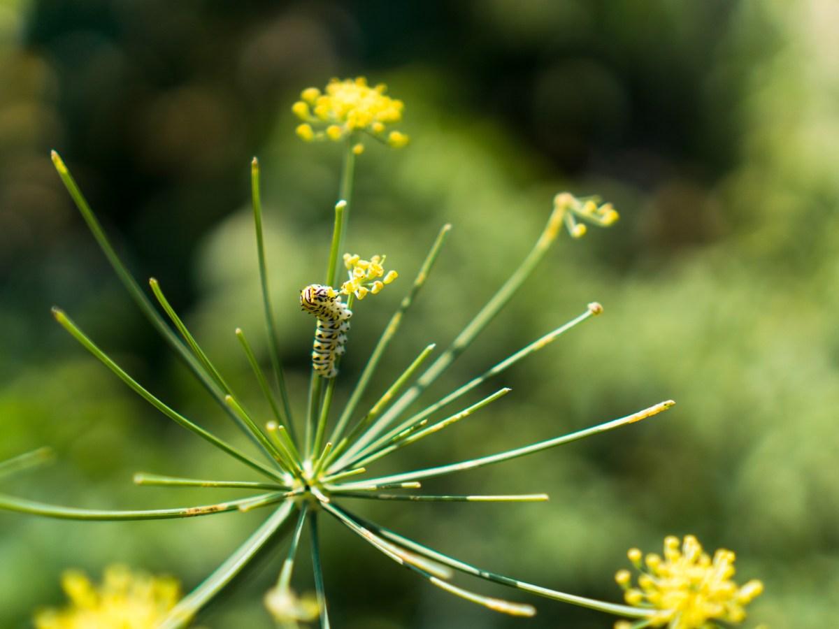 Garden Caterpillar on Dill Flower