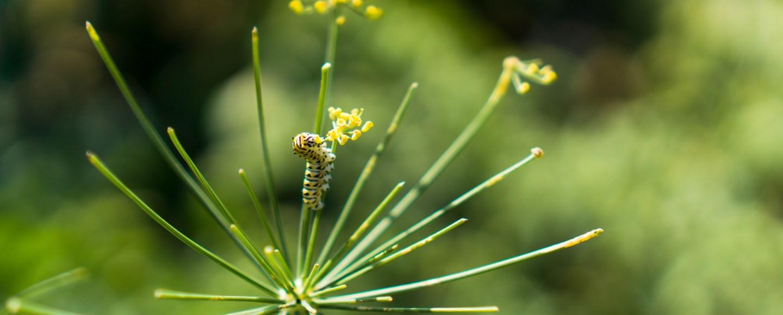Garden Caterpillar on Dill Flower   Erica Robbin