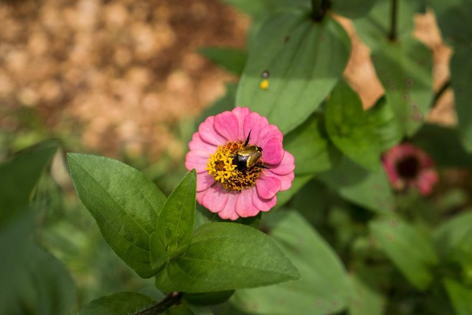 Japanese Beetle Gobbling Garden Flowers | Erica Robbin