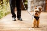 Yorkshire Terrier Tuxedo wedding Tahoe City CA
