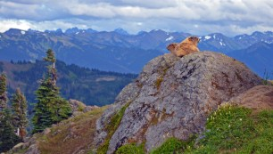 Olympic marmots, Hurricane Ridge in Olympic National Park