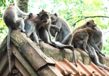 Macaques in Monkey Forest Ubud, Bali