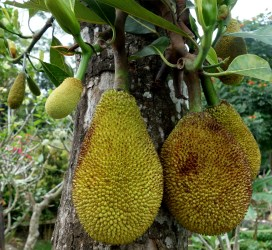 Jackfruit in Bali