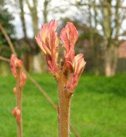 buds of sumac leaves