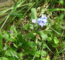 first of the forget me nots