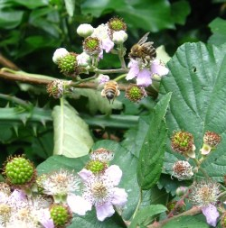 honey bees and bramble blossom