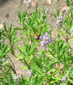 lavender scented bumble bee