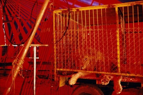 © Alex Webb. Analogous colors of red and orange of this caged lion which gives a sense of impending doom and danger.