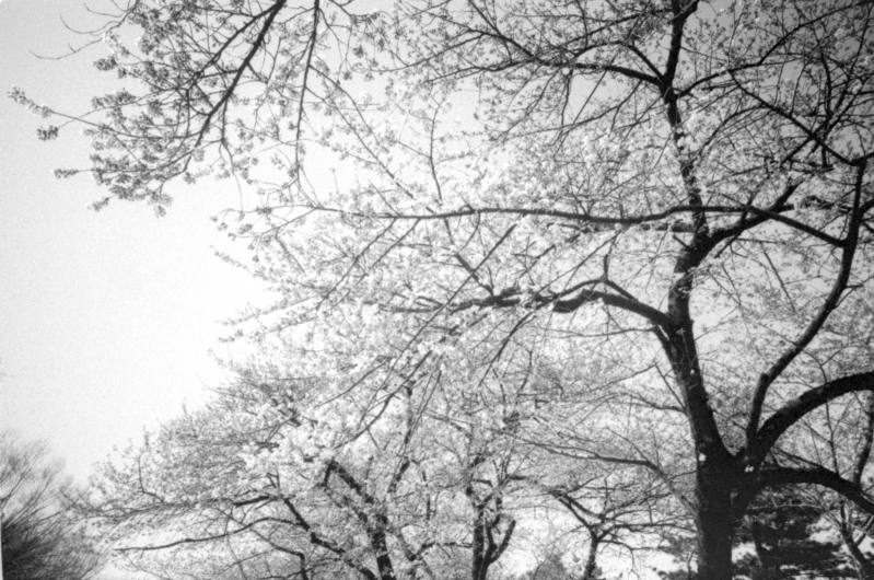 Cherry Blossoms in Seoul. A week after my Grandfather's funeral, 2014
