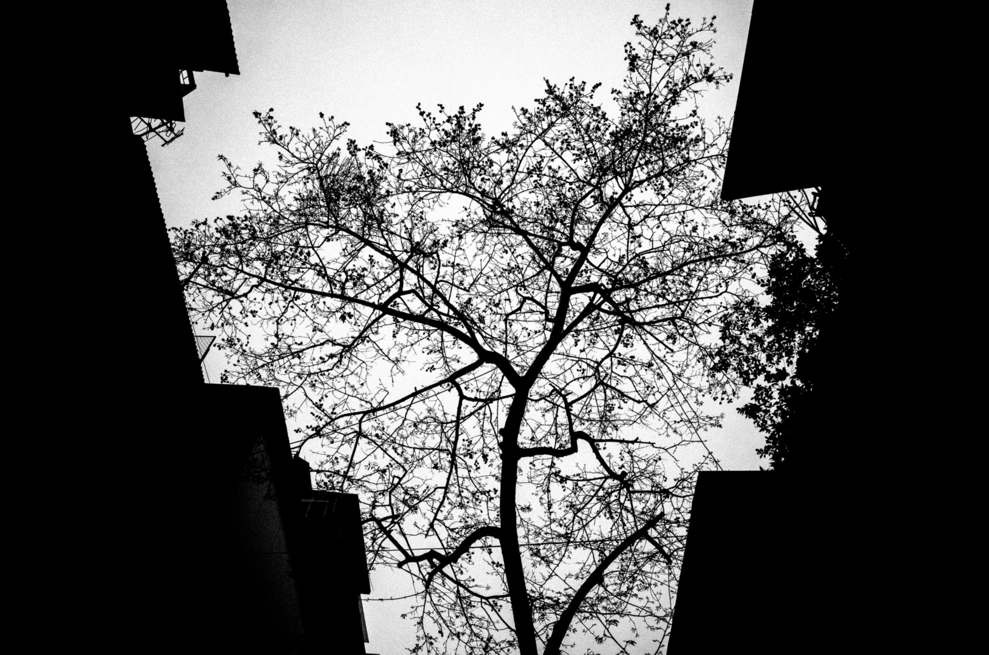 Tree. Hanoi, 2017