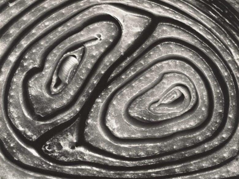 Close up of onion by Edward Weston