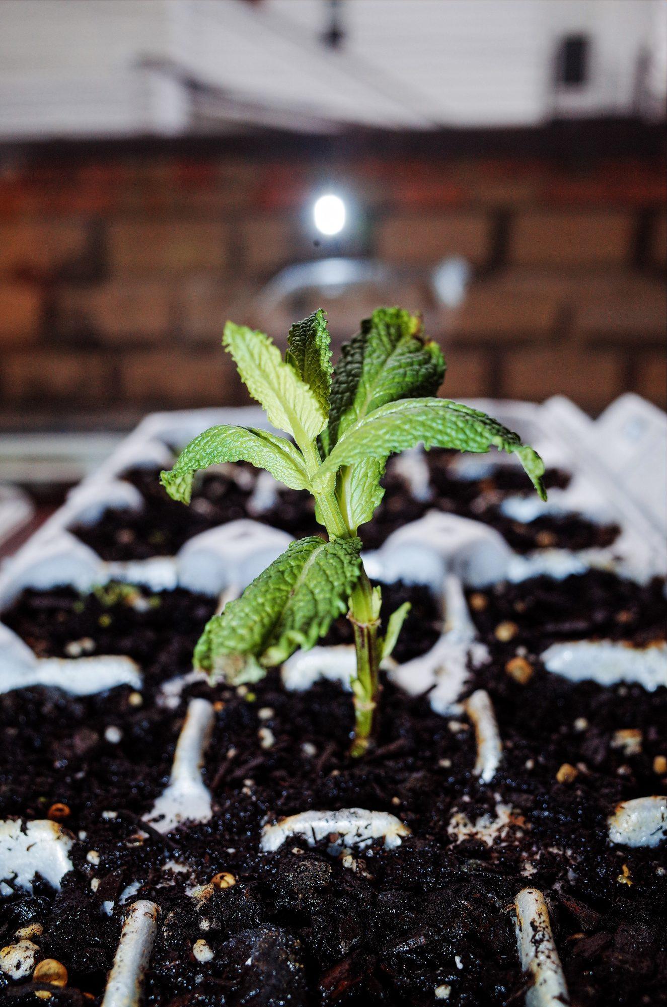 Growing green mint plant. Boston, 2018
