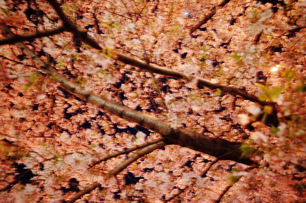 Osaka cherry blossoms sakura