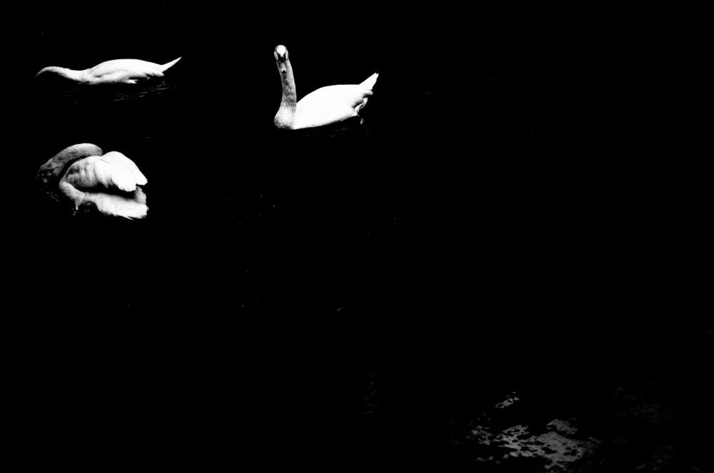 simple swans