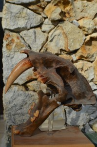 saber tooth skull