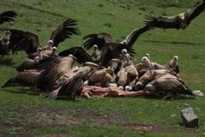 vultures feeding