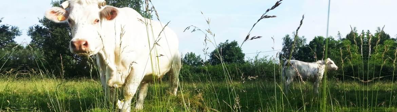 Éleveur charolais dans le Maine et Loire
