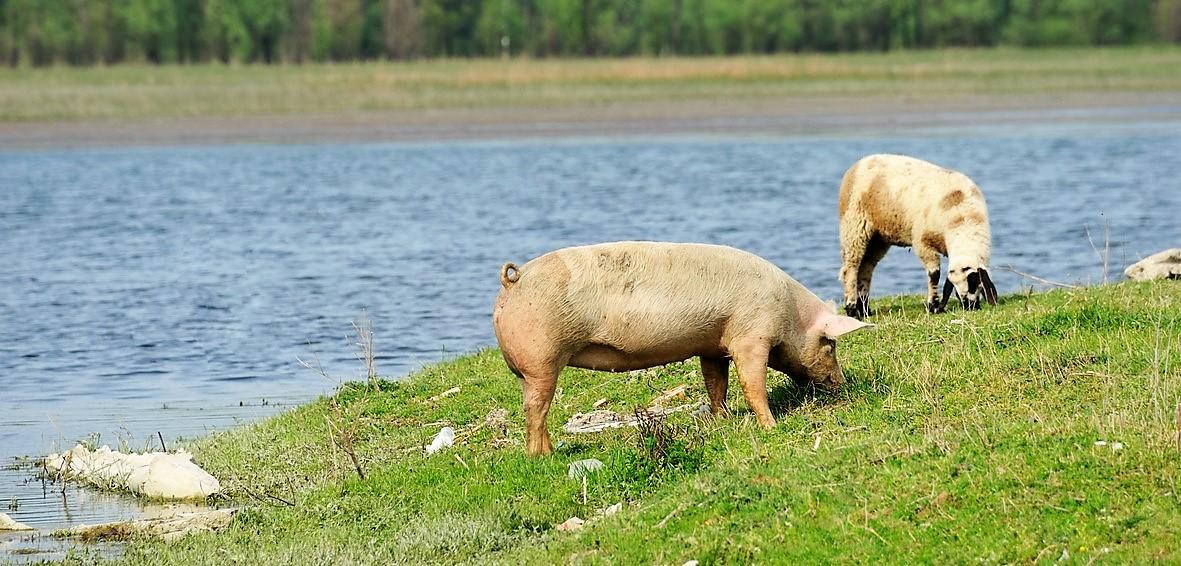 A la découverte de notre producteur partenaire de porc bio
