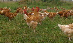 Découvrez un élevage de poulets fermiers élevés en plein air près d'Angers
