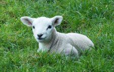 D'où vient la coutume de l'agneau Pascal ?
