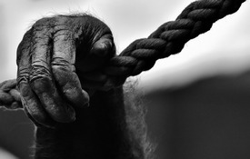 Gorilla - xs