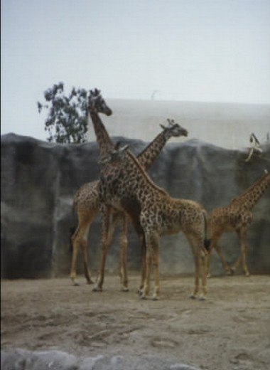 San Diego (Zoo), USA (1990)