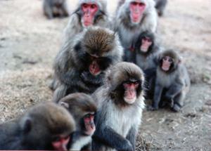 Japanese Macaca Fuscata monkeys