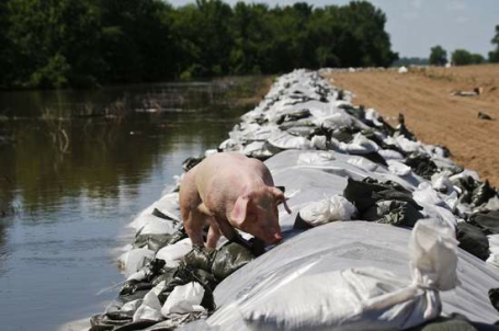 Police shoot hogs to save levees near Burlington