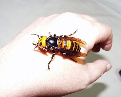 Asian-giant-hornet-5