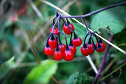 berries-ivinghoe-beacon