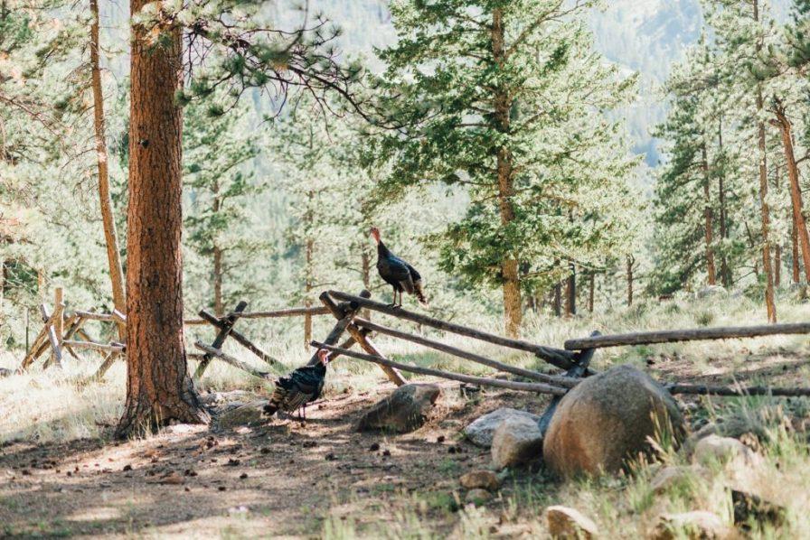 turkeys at della terra mountian chateau
