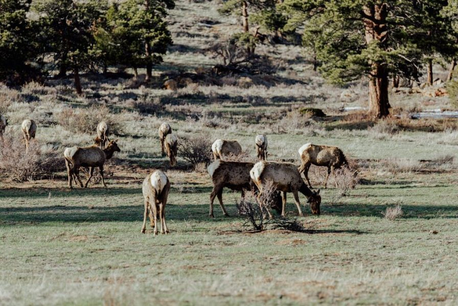 elk grazing in rocky mountain national park