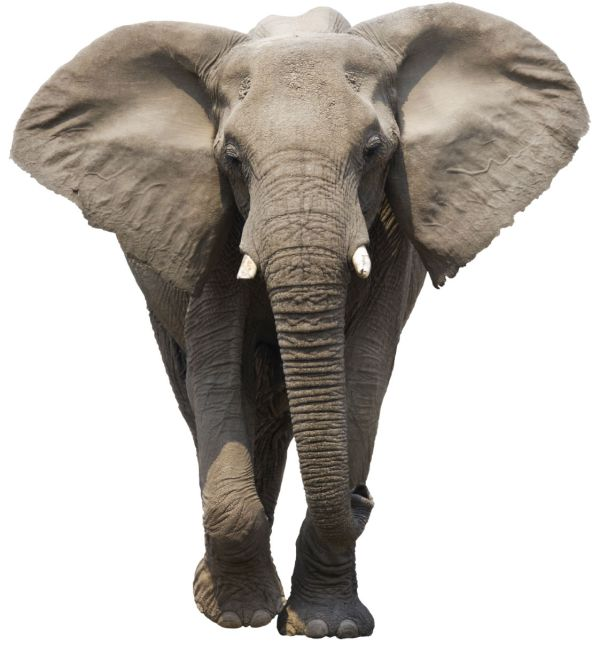 Elephant Front View