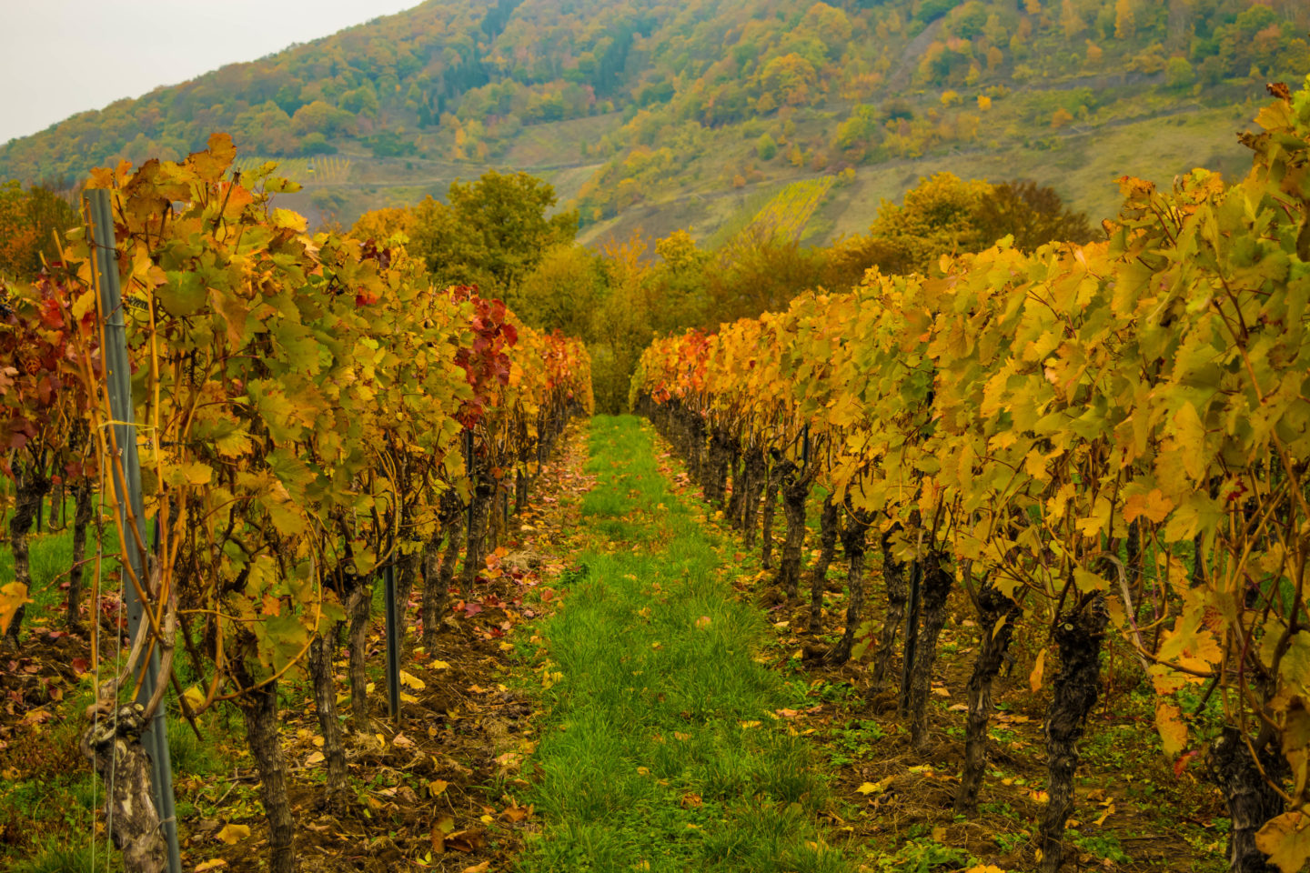 Incredible colours of the grape vines in autumn.