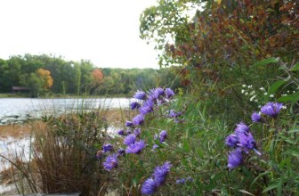 Asters in September