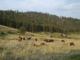 A small herd of bison.
