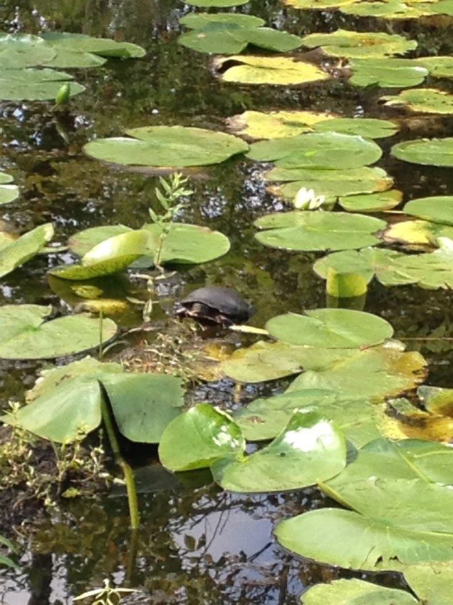 A turtle is in the pond amongst lilypads