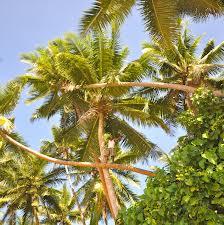 Tall coconut palms