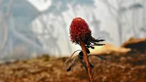 Waratah and burning bush