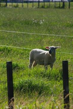 Just been shorn sheep