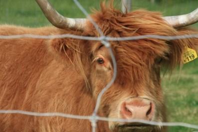 Pete's Scottish Highland cattle