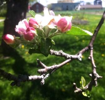 Apple Blossom at Shaker Village