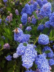 Bees everywhere, on blue flowers, Caunes