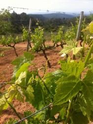 Combebelle syrah vines