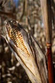 Corn maze | Where Erin Goes