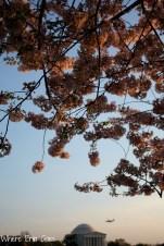 CherryBlossomsJeffersonVertical