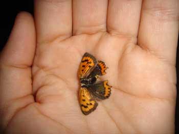 mariposa muerta