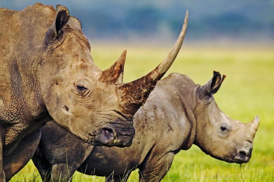 Rinoceronte de un solo cuerno